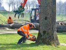 Gekraak en een harde plof: populieren in stadspark Hulst worden gekapt