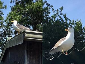Meeuw Boomerang voor de vierde keer terug bij Vogelopvang