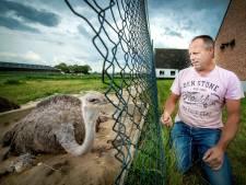 Jonge struisvogeltjes geboren langs de weg in Weurt