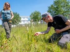 Geen 'vuulte' maar juist zeldzame plantjes op braakliggende velden in Vlissingen
