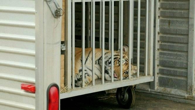 Politie in Houston vindt vermiste tijger na dagenlange zoektocht