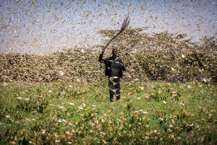 Op allerlei manieren proberen de bewoners van Laikipia de sprinkhanen van hun velden te verjagen.  Beeld Sven Torfinn / de Volkskrant
