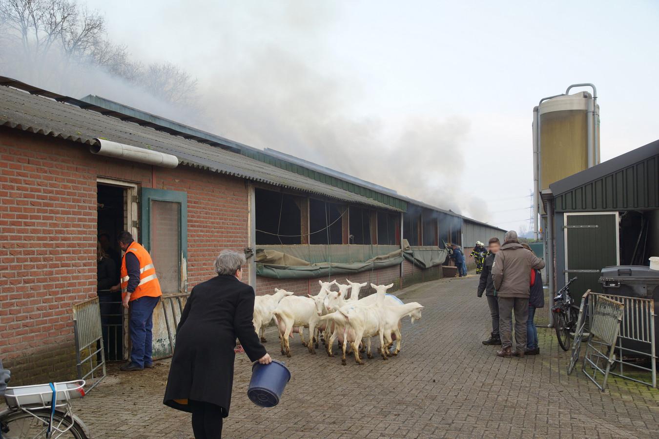 De geiten worden uit de stal gehaald.