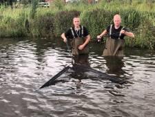 Nóg grotere monstervis: meerval van 2,36 meter in Ulft gevangen