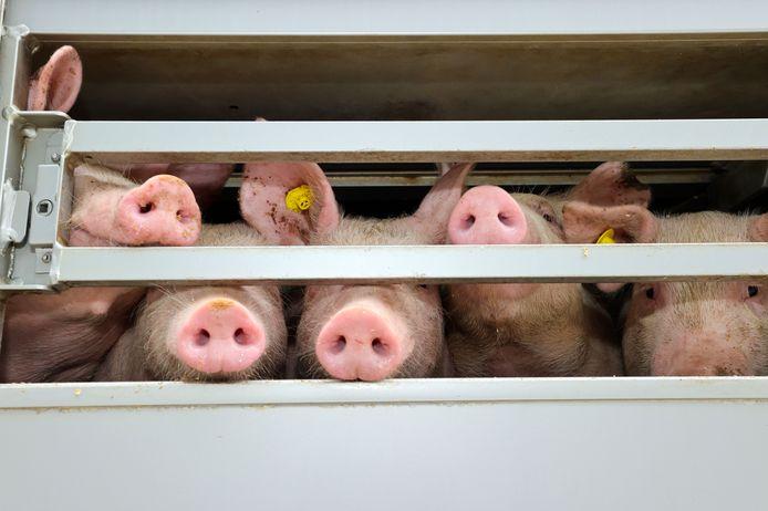 Varkens op weg naar het slachthuis.