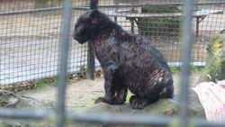 """Weyts sluit Olmense Zoo: """"Wie niet horen wil, moet voelen"""" """"Een pure schande"""", vindt de directeur van het dierenpark"""