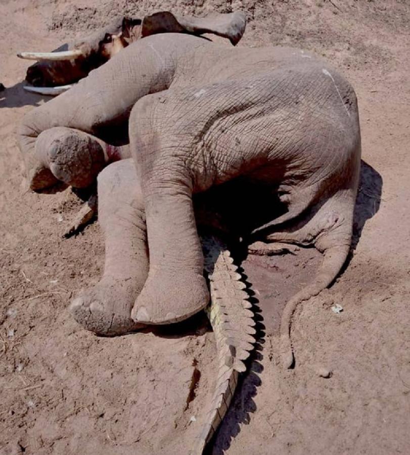De olifant en de platte krokodil.