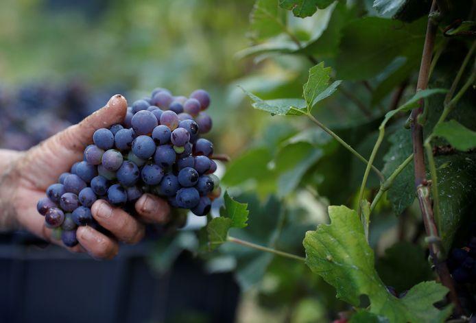 Het plukken van de druiven bij een Taittinger-wijngaard tijdens de traditionele  Champagne-oogst in Pierry.