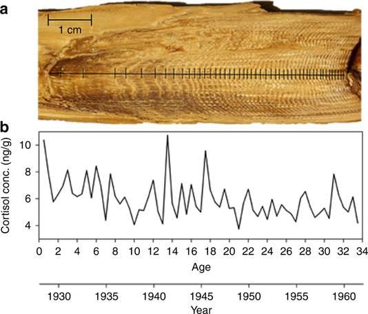 Een prop walvisoorsmeer, waarbij leeftijd en jaarlijnen zijn uitgezet. In de grafiek is het cortisolgehalte af te lezen