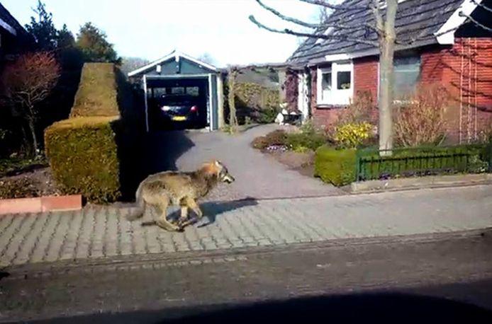 De wolf liep eerder door het dorpje Kolham