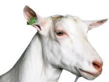 Geitenhouder vraagt nieuwe vergunning voor alleen melkgeiten in stal in Hurwenen