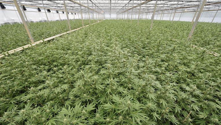 Een illegale wietplantage in Made, Noord Brabant. Foto ANP Beeld