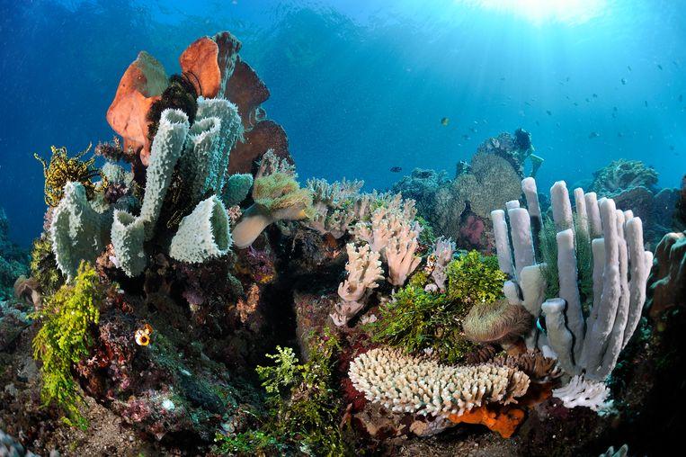 Uitbundig leven op het koraalrif van Straat Lembeh. Beeld Buiten-beeld