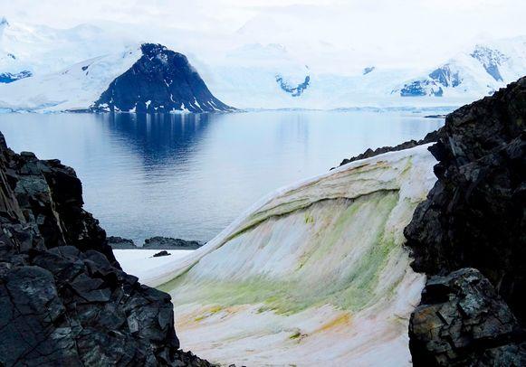 """Onderzoekers onderzochten de bloei van """"sneeuwalgen"""" op Anchorage Island, Antarctica."""