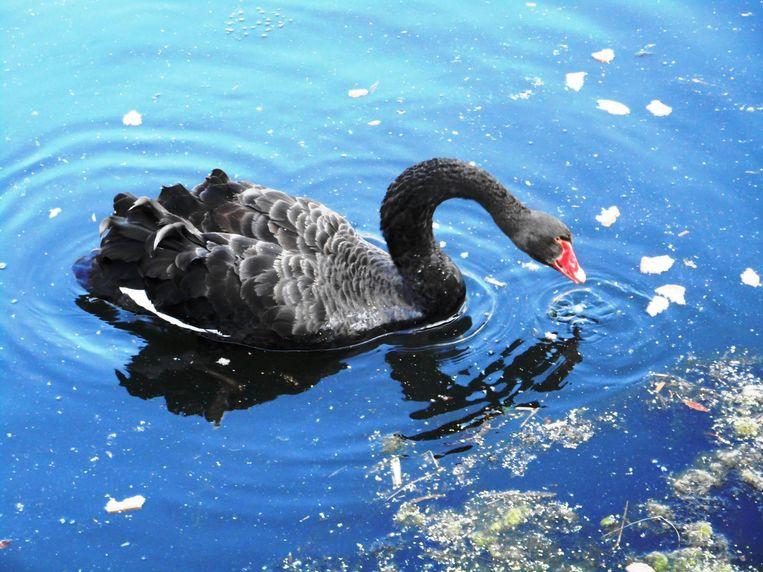 Dat er ook zwarte zwanen bestaan, in Australië bijvoorbeeld, weten Europeanen pas sinds eind 17de eeuw. Het verraste ons en is daarom de favoriete metafoor van Taleb. Beeld Yannick De Spiegeleir