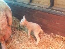 Lente! Eerste lammetjes geboren in Maarssen