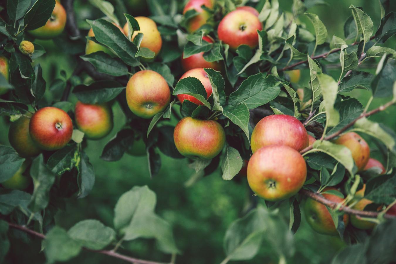 Een appelboom.