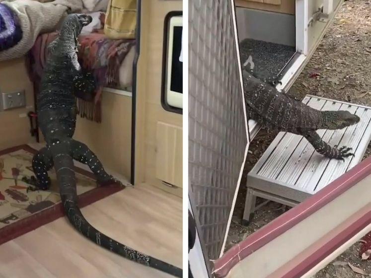 Toeriste vindt reusachtige hagedis van bijna twee meter in haar caravan