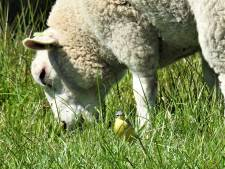 Agent treft schapen aan langs A20, politie drijft ze terug achter hek