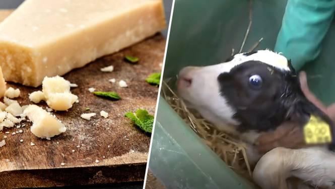 Animal Rights maakt schokkende undercoverbeelden van dierenleed bij productie Grana Padano-kaas