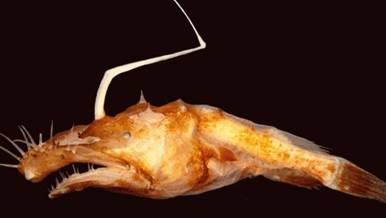De nieuwe vissensoort werd gevonden op 1 tot 1,5 kilometer diepte.