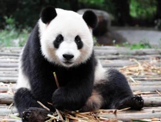 Goed nieuws: reuzenpanda's in China zijn niet meer bedreigd