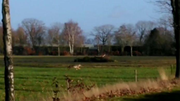 De wolf in Brabant.