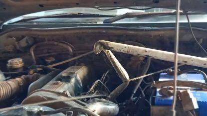 Niet  voor gevoelige kijkers: politie haalt cobra uit wagen maar krijgt plots verrassing