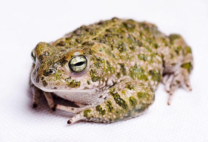 De rugstreeppad laat zich in Zeeland nog maar weinig zien.
