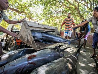 Woede en verdriet op Mauritius na aanspoelen 17 dode dolfijnen nabij olielek van 1.000 ton