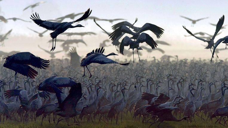 Als ze vliegen, strekken de vogels hun nek en steltpoten waardoor ze langer dan een meter zijn. Beeld AFP