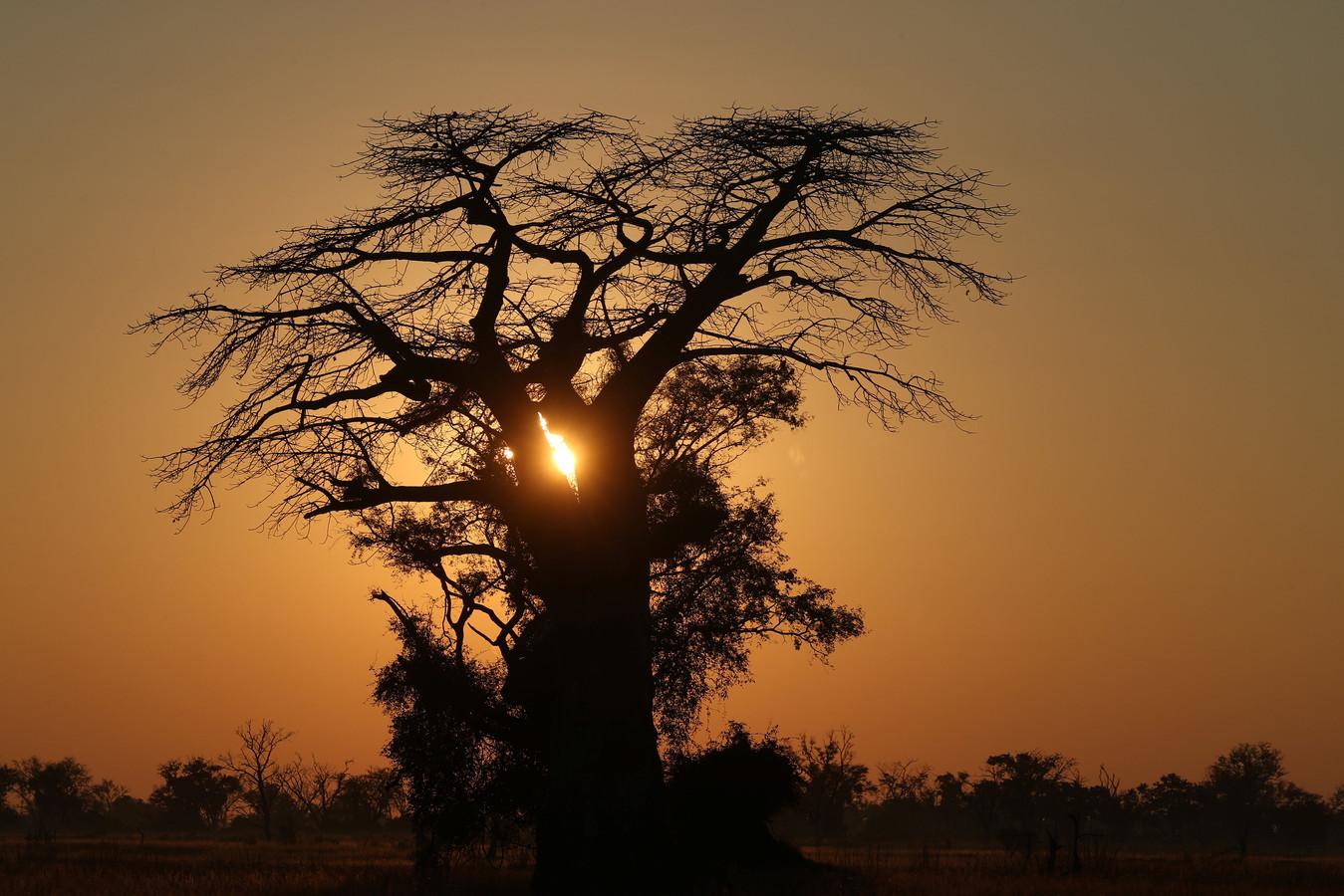 Een baobabboom in Botswana.