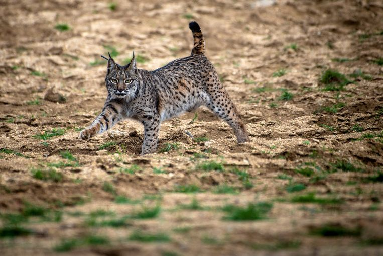 Uiterst zeldzaam, de Iberische lynx, maar daar komt verandering in. Beeld EFE