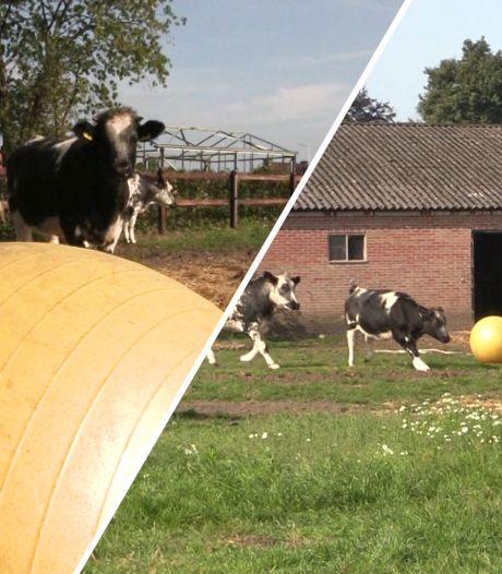 Video van de Dag   Deze sportieve koeien trappen een balletje, maar of ze talent hebben...?