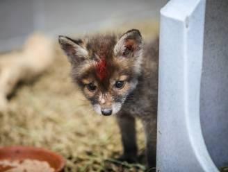 Dit schattige vosje, en nog 700 andere dieren, zijn dit jaar al verzorgd in het Vogelopvangcentrum