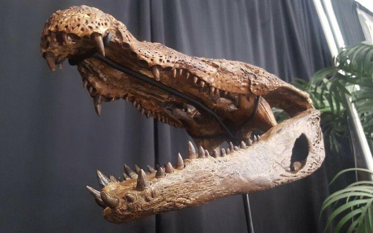 Kop van Borealosuchus, uitgestorven krokodilachtige. Beeld RV