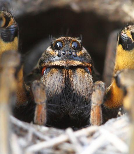 Veel minder kruisspinnen dan vroeger in Nederlandse tuinen