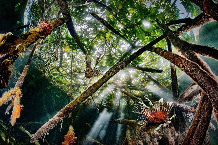 Koraalduivels horen hier eigenlijk niet thuis. Ze zijn hier tien jaar geleden per ongeluk terechtgekomen. Was het via een gebroken aquarium na een  orkaan in Florida, of geloosde waterballast van een schip dat van een land  aan de Indische Oceaan kwam? Koraalduivels zijn vraatzuchtige rovers met  een verwoestende invloed op het rif en de mangrove.    Beeld Lorenzo Mittiga/INSTITUTE