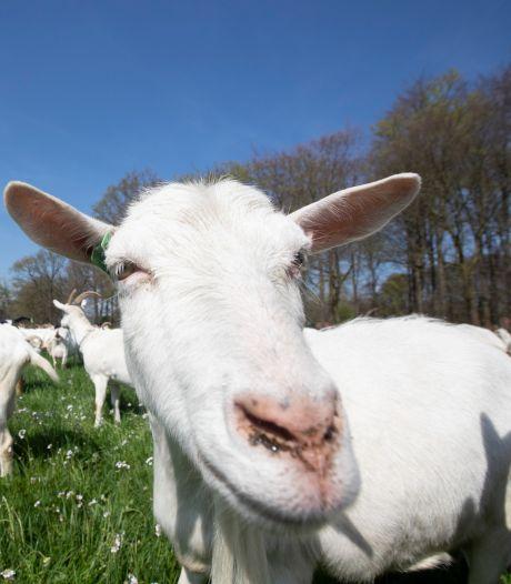 Bouwen, bouwen, bouwen in Meierijstad botst met geitenbedrijven