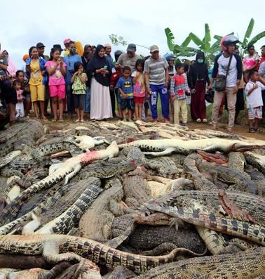 Indonesische dorpelingen doden 292 krokodillen tijdens wraakactie