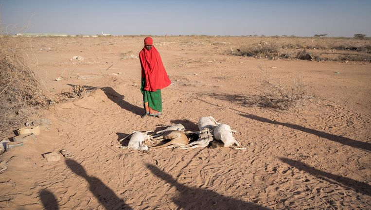 Burao, Somaliland. Een vrouw staat bij haar dode geiten. De Hoorn van Afrika is getroffen door ernstige droogte. Vee sterft door gebrek een voedsel en water. Beeld null