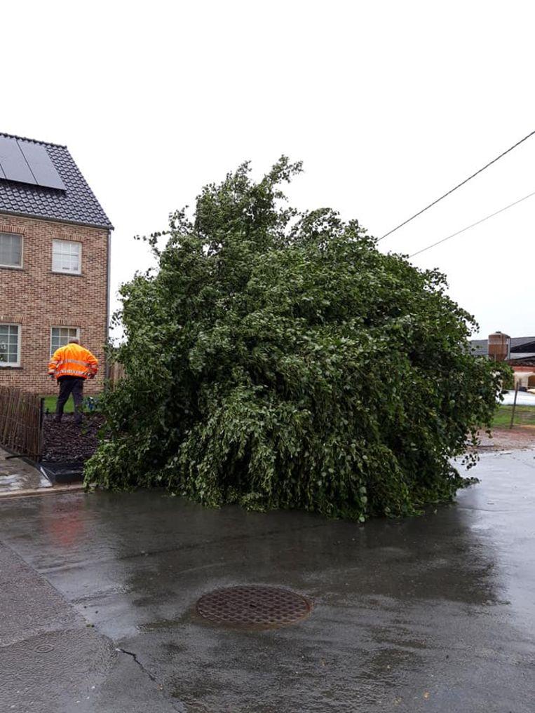 De lindeboom aan de Ossenweg begaf het bij de storm van begin juni.