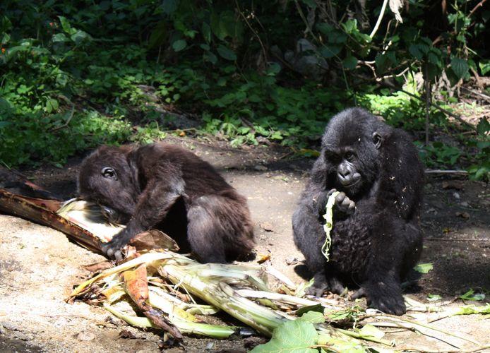 Babygorilla's Ndeze en Ndakasi eind 2009.