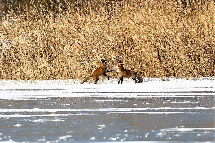 Het koppeltje vossen waagt zich op glad ijs.