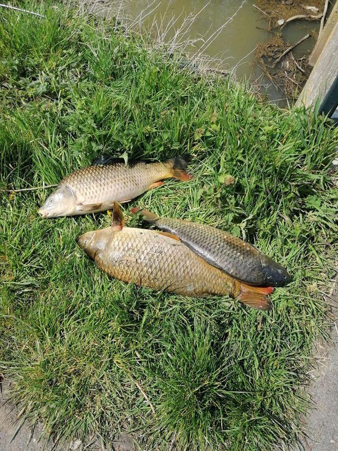 Dode vissen in Poperingevaart.