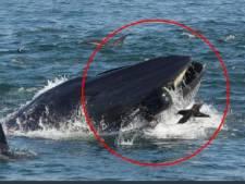 Une baleine avale un plongeur... puis le recrache vivant!