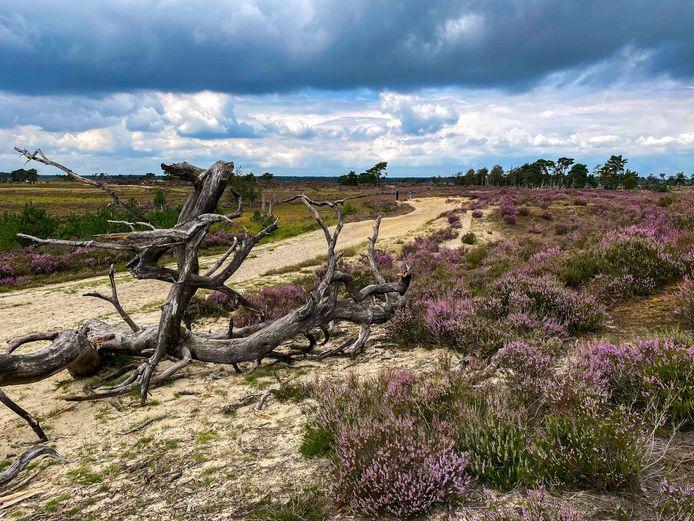 De purperen Kalmthoutse Heide.