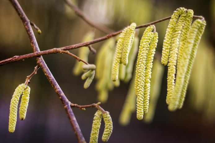 De takken van een hazelaar, hiermee komen mensen met een pollenallergie het best niet mee in aanraking.