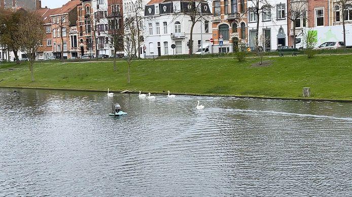 Daar zwemmen ze weer aan 't Stil Ende: de fiere witte zwanen.