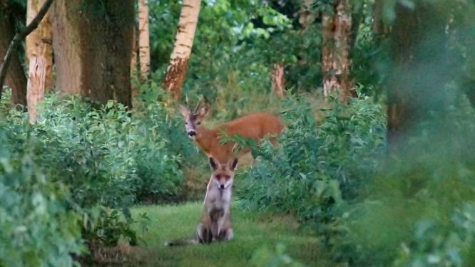 Sprookjesachtig: vos en ree 'poseren' samen voor de foto in bos in Brasschaat